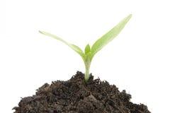 Plante sur le fond blanc photos libres de droits