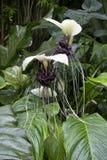 Plante tropicale blanche rare de chantrieri de Tacca de fleur de batte avec le centre noir et les longs favoris image libre de droits