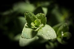 Plante verte avec des baisses photos stock
