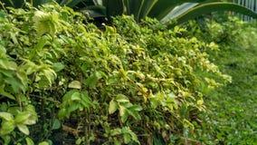 Plante verte avec la petite texture fraîche de fond d'herbe verte Purpureum de Pennisetum photo libre de droits