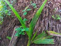 Plante verte avec la vieux racine et fond de sol images libres de droits