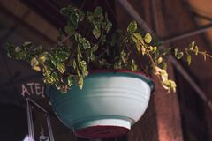 Plante verte dans accrocher de pot photos libres de droits