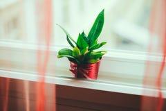 Plante verte dans les châssis de fenêtre intermédiaires de pot rouge Image libre de droits
