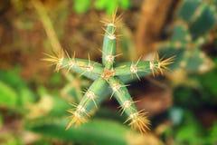 Plante verte de cactus dans l'Inde - vue supérieure Images libres de droits