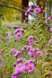 Plante verte de fleur pourpre d'astra dans le jardin Flore de nature de saison de beauté Image stock