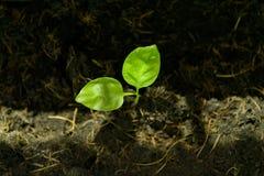 Plante verte de jeune plante s'élevant dans le sol avec la tache de lumière du soleil photographie stock libre de droits