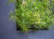 Plante verte de papyrus photo stock