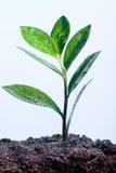 Plante verte en rosée photos stock