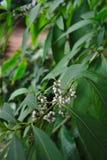 Plante verte et fruits blancs Photo stock