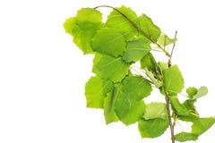 Plante verte fraîche d'isolement sur le blanc photo stock