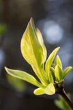 Plante verte Lanate Photographie stock libre de droits