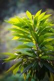 Plante verte luxuriante avec de grandes feuilles Images libres de droits