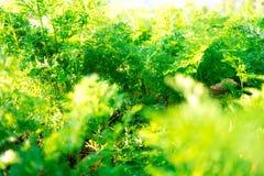 Plante verte s'élevant dans le jardin frais image libre de droits