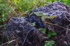 Plante verte s'élevant par la roche Les feuilles de la fraise de région boisée s'élevant dans le criqué dans la pierre Photographie stock libre de droits