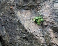 Plante verte s'élevant sur le visage d'une roche Hillside Image stock