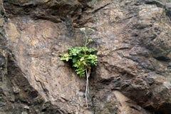 Plante verte s'élevant sur le visage d'une roche Hillside Photographie stock libre de droits