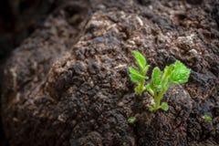 Plante verte s'élevant sur terre Photographie stock