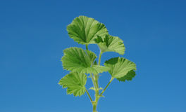 Plante verte sur le ciel bleu Images stock