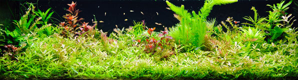 Planted aquarium. Heavily planted large freshwater aquarium Royalty Free Stock Images