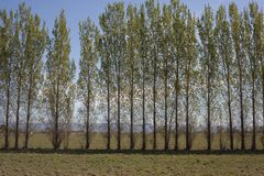 Row of Trees in an Open Field Royalty Free Stock Photography