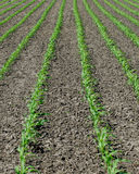 Planted corn field. Row of planted corn growing in countryside field Stock Image