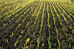Free Planted Field In Sunlit Stock Photos - 22013723