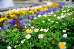 Planted flowers blossoming in spring Royalty Free Stock Images