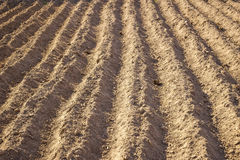Planted in the ground potatoes. Royalty Free Stock Image