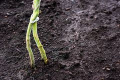 Planted horticultural plant in damp ground. Is close royalty free stock photo