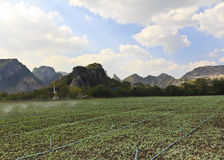 Planted lettuce field. Near mountain stock photo
