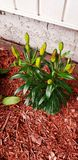 Planted this lily plant a couple days ago cant wait for it to bloom. Panted this lily plant a couple days ago cant wait for it to royalty free stock photo