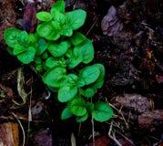 Planted Oregano Stock Photography
