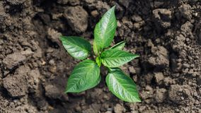 Planted pepper in the ground, top view.  royalty free stock photo