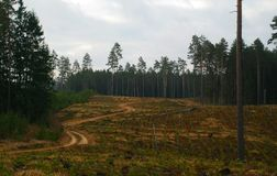 Planted pine forests. Pine seedlings planted in a rows between old pine forests royalty free stock photos
