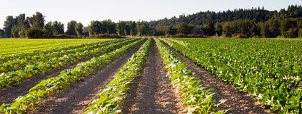 Planted Rows Herb Farm Agricultural Field Plant Crop. A Washington State herb farm grows plants for consumption royalty free stock image
