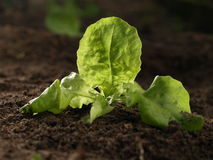 Planted seedling, closeup Royalty Free Stock Photography