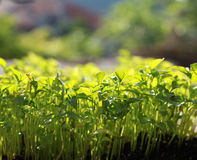 Planted seeds potatoes Royalty Free Stock Image