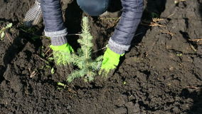 Planted the spruce stock footage