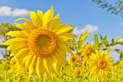 Planted with sunflower Royalty Free Stock Photography