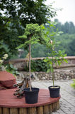 Planted tree. Oak and pine planted in cups with dirt Stock Photography