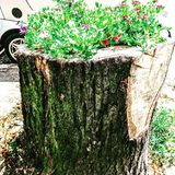Planted Tree Trunk stock photo