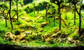 Planted tropical freshwater aquarium. With green hair moss stock photo