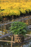 Planted young marigold tree in a bamboo pot Royalty Free Stock Photo