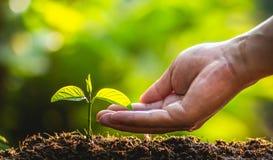 Plantend de Zorg van de bomenboom sparen wereld, beschermen de handen de zaailingen in aard en het licht van de avond stock foto's