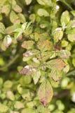 Plantenziekte, de schimmelziekte van de bladerenvlek op rosetree royalty-vrije stock foto's