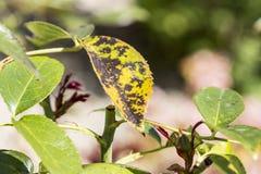 Plantenziekte, de schimmelziekte van de bladerenvlek op rosetree stock afbeeldingen