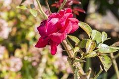 Plantenziekte, de schimmelziekte van de bladerenvlek op rosetree royalty-vrije stock afbeelding