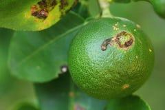 Plantenziekten, Citrusvruchtenkanker Royalty-vrije Stock Foto