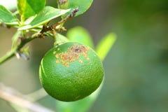 Plantenziekten, Citrusvruchtenkanker Royalty-vrije Stock Foto's