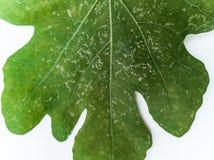 Plantenziekten en schade op het Witte vijgeblad van Genua royalty-vrije stock afbeelding